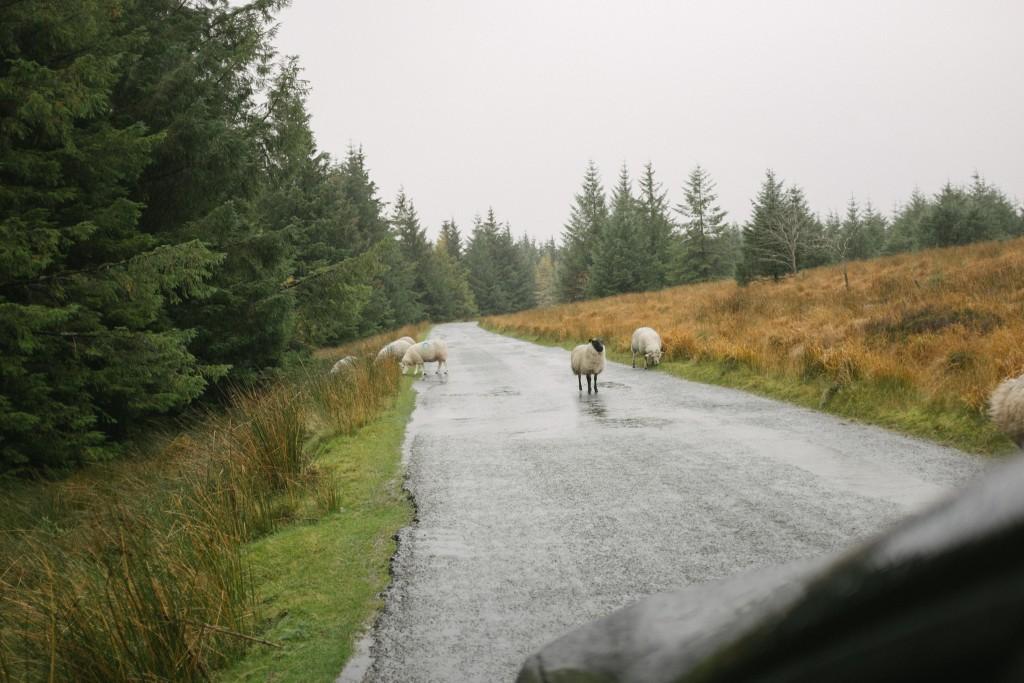 Sheep all around.